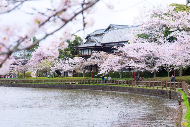 2015sakura003